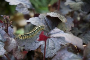 Caterpillar on coral bells, Nancy's garden