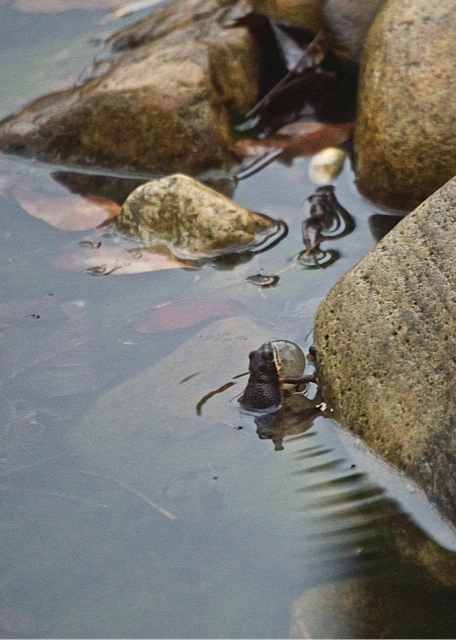 Upland Chorus Frog Singing in Nancy's Pond