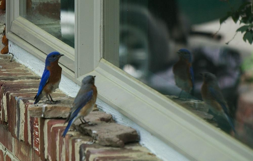 BlueBirds-2016