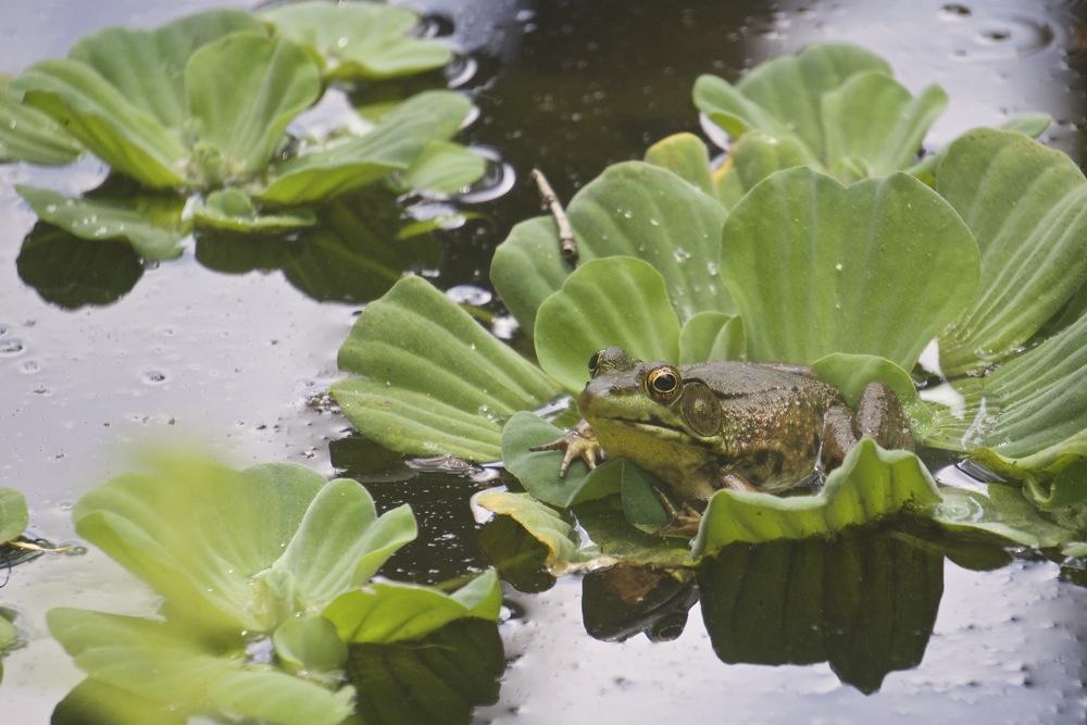 Frog on Lettuce
